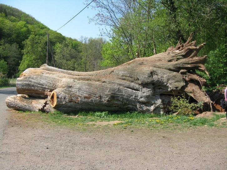 Kékestető, Rákóczi-fa